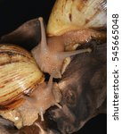 Small photo of A couple of Achatina, a genus of tropical land snails, terrestrial pulmonate gastropod mollusks in the family Achatinidae