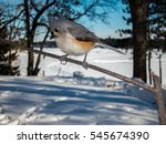 Tufted Titmouse  Parus Bicolor...