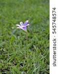 Small photo of Pink rain lily, Zephyranthes robusta, flower of the Amaryllidaceae family, originating in Brazil, Argentina and Uruguay and naturalized in many countries - Sao Paulo, SP, Brazil - December 18, 2016