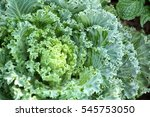 decorative curly kale | Shutterstock . vector #545753050