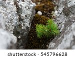 Tiny Evergreen Pine Sapling...