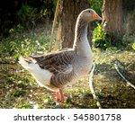 Grey Goose Standing  In...