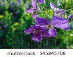 The Flowers Of Clematis....