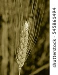 Small photo of Field of Triticum aestivum L , Wheat crop, Maharashtra, India
