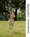 Blackbuck Antelope Male In...
