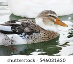 Beautiful Duck Resting On The...