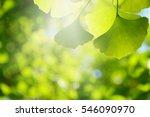 blur ginkgo green leaf... | Shutterstock . vector #546090970