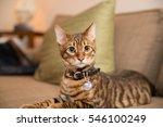 adorable toyger kitten with... | Shutterstock . vector #546100249