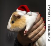 Cute Guinea Pig Wearing A...