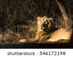 asiatic lion from gir national... | Shutterstock . vector #546172198