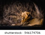 asiatic lion from gir national... | Shutterstock . vector #546174706