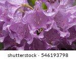 Lavender Flowers Of...