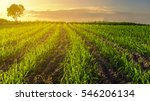 sunset over sugar cane field | Shutterstock . vector #546206134