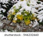 Small photo of Autumn shot of Heuchera (coral bells, alumroot) 'Lime Marmalade'