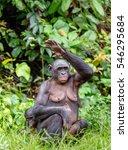 adult female of bonobo on the... | Shutterstock . vector #546295684