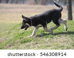 Small photo of Cute, adorable, three-month-old AKC registered German shepherd puppy trots happily down a hill.
