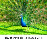 A Proud Peacock Displays His...