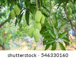 mango tree | Shutterstock . vector #546330160