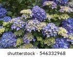 blue purple hydrangea flowers   Shutterstock . vector #546332968
