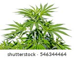 cannabis or weed plant isolated ... | Shutterstock . vector #546344464