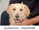 Golden Retriever Stays With Hi...