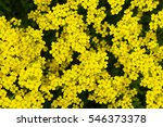 Small photo of Alyssum saxatile or aurinia saxatilis yellow flowers