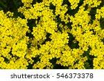 Small photo of Alyssum saxatile or aurinia saxatilis yellow flowers