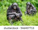 Adult Female Of Bonobo On The...