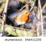 robin redbreast | Shutterstock . vector #546411250