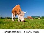 Cow Herd In A Field. Cow On...