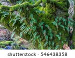 Small photo of Tree trunk and branches with Amblystegium serpens or creeping feather moss and Blechnum spicant, also called hard-fern or deer fern.