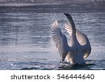 Swan With Spread Wings...