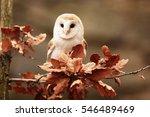 Nice Portrait Barn Owl