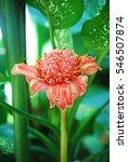 Torch Ginger Flower