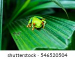 Red Eye Tree Frog On Large...