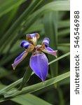 Small photo of Walking Iris Neomarica caerulea Iridaceae on nature background