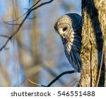 The Barred Owl Is A Large...