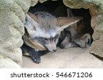 the bat eared fox  otocyon... | Shutterstock . vector #546671206