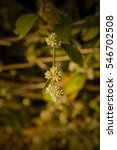 Small photo of Alternanthera sessilis, Sessile Joyweed, Dwarf copperleaf, Joyweed