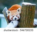Red Panda  Aka Lesser Panda ...