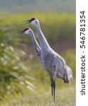 Small photo of Pair of Sandhill Cranes (Grus canadensis) calling - Melbourne, Florida