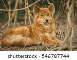 dingo male is resting in the... | Shutterstock . vector #546787744