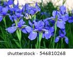 beautiful irises purple flowers.... | Shutterstock . vector #546810268