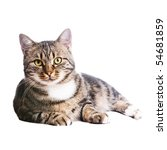 Beautiful European Cat Lying O...