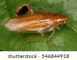 cockroaches from the equatorial ... | Shutterstock . vector #546844918