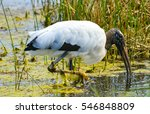 A Wood Stork Is Foraging For...