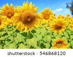 sunflower with  field and blue... | Shutterstock . vector #546868120