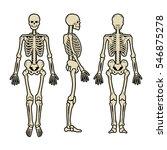 anatomical human skeleton  in...   Shutterstock .eps vector #546875278