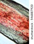 plant tissue mahogany. photo... | Shutterstock . vector #546887920