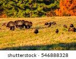Six Tom Turkeys  Meleagris...